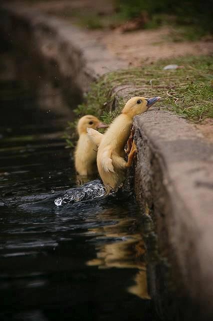 Adversity - ducks